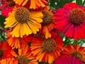 Цветники ромашки Helenium