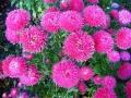 Цветники ромашки