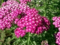 Цветник зонтик