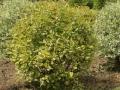 Садовый бонсай. Форма шар
