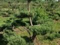 Садовый бансай