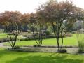 Садовый бонсай. Форма зонт