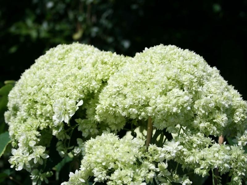 hyrangea-arborescens-hayes-starburst_2