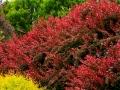 Цвет барбариса в саду