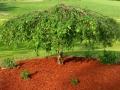 Посадка декоративного дерева