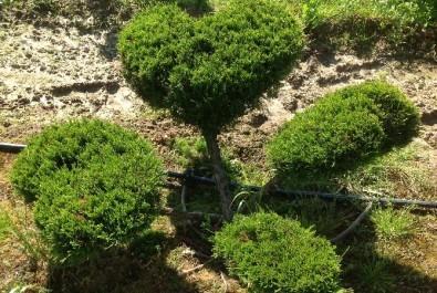 Европейское ниваки и другие формы садовых растений