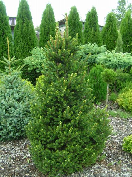 Picea abies Will's Zwerg